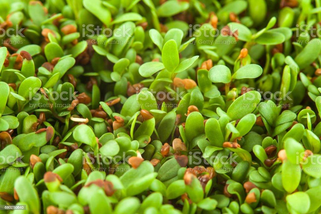 Alfalfa sprouts (Medicago sativa) stock photo