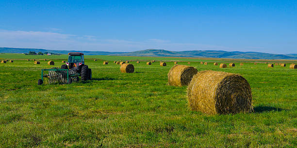 Alfalfa hay bales stock photo