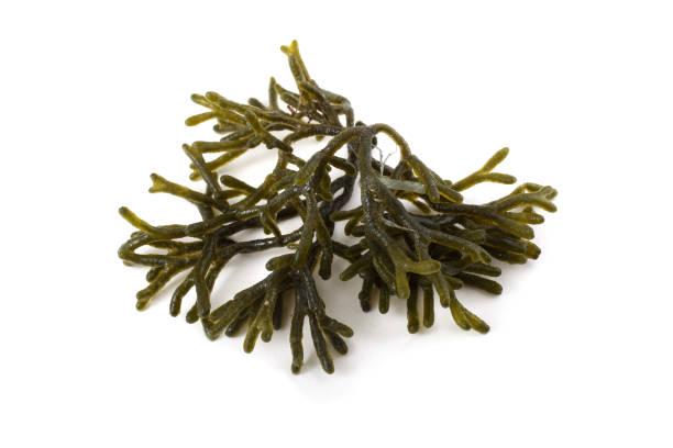 Alga - foto de stock