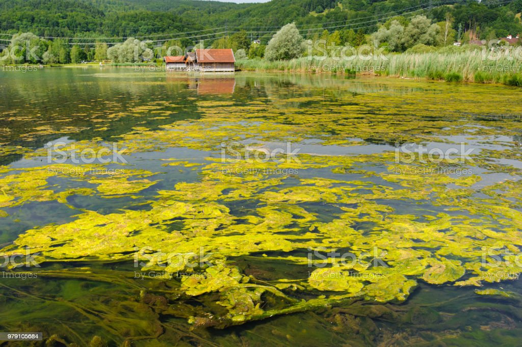 algae bloom and pollution in lake stock photo