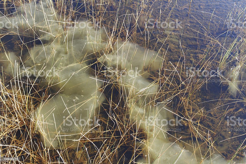 Algae bloom in fresh water shallow marsh stock photo