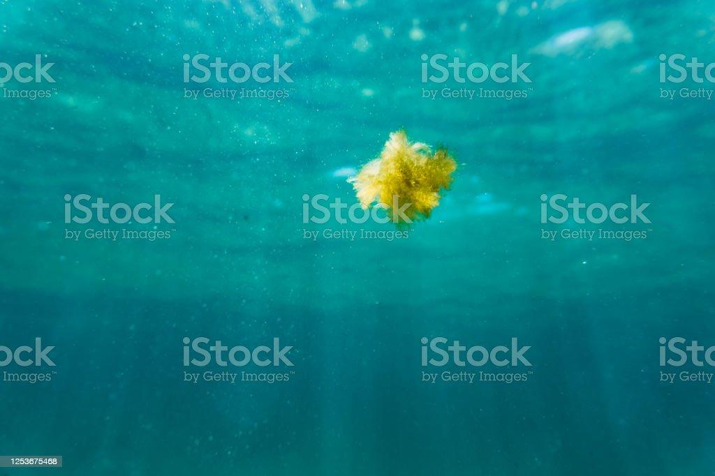 Algae floating in sea - Foto stock royalty-free di Alga
