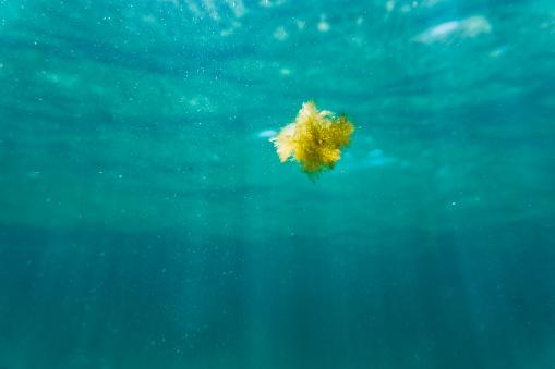 Algae Floating In Sea - Fotografie stock e altre immagini di Alga