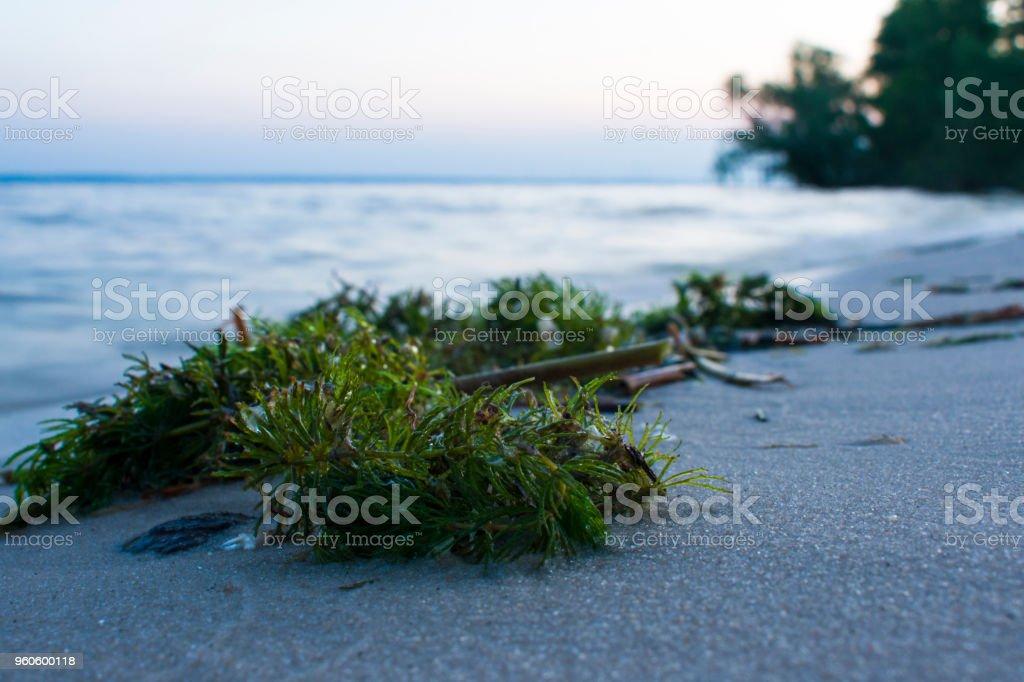 Algas na margem de um close-up. O início do pôr do sol no rio Dnieper - foto de acervo