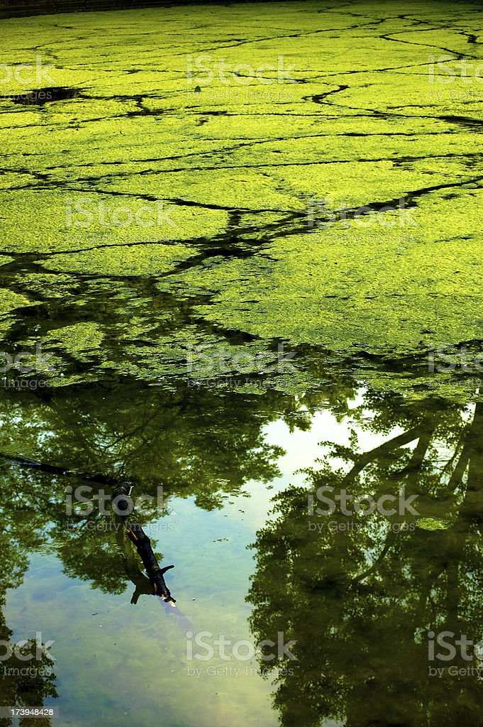 Algae royalty-free stock photo