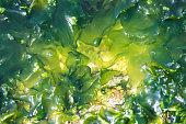 istock Algae seaweed at coast of Rio de Janeiro Brazil 886205674