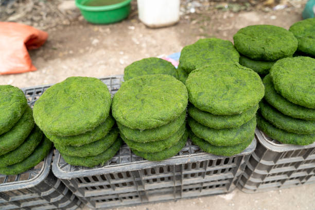 Algae spirulina. This is a kind of moss that grows under streams used by ethnic minorities as a vegetable for meals stock photo