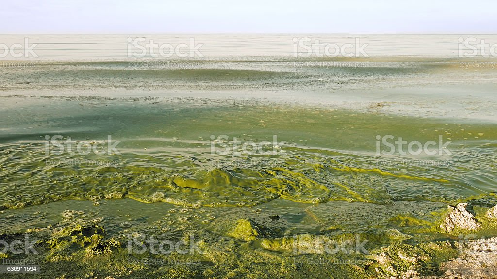 Algal bloom polluted water green color in lake stock photo