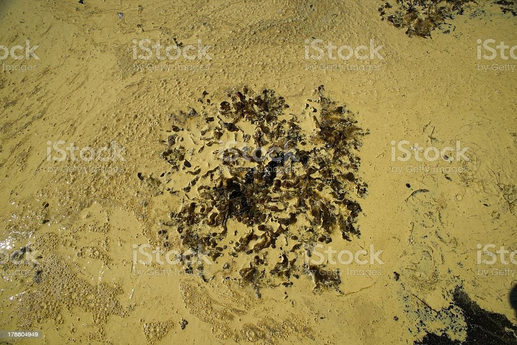 algal bloom surrounding seaweed royalty-free stock photo