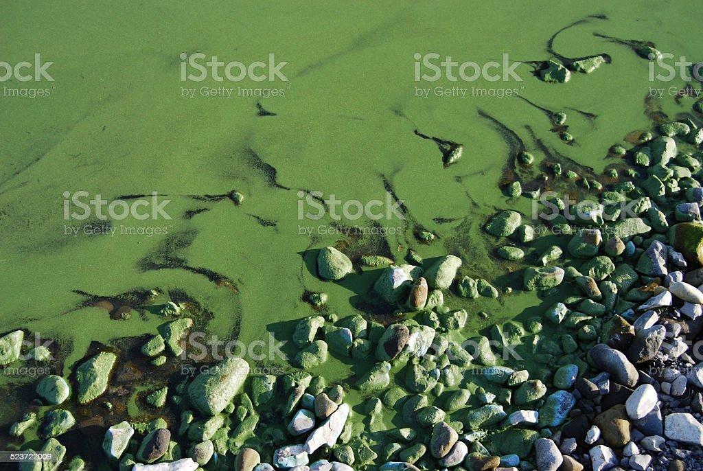 Algal blooms in the river Volga in Volgograd region. Russia stock photo
