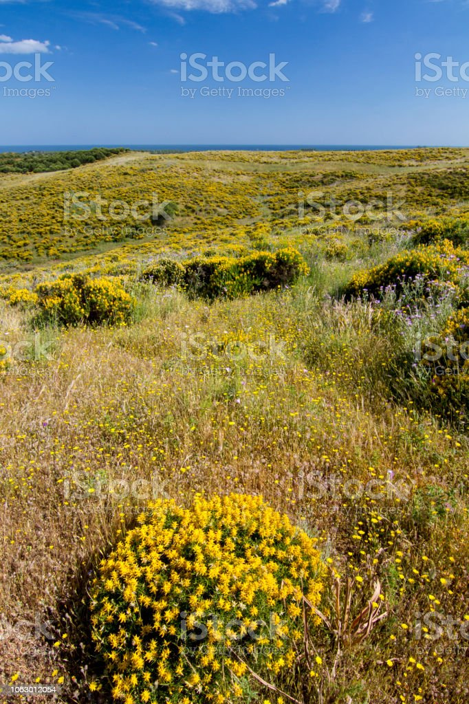 Algarve Countryside Hills With Yellow Bushes In Spring Stock Photo
