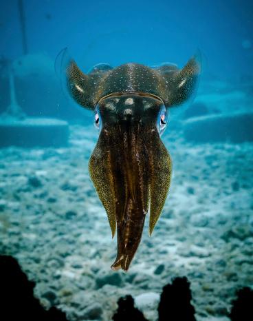 Alien-like Cuttlefish