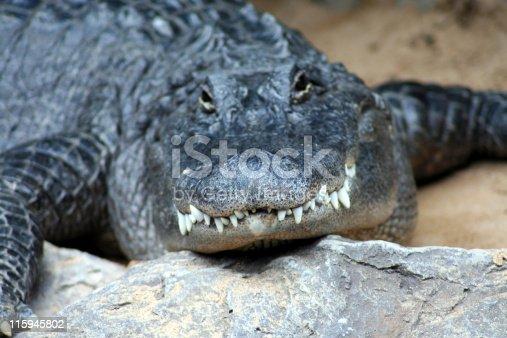 a large aligator