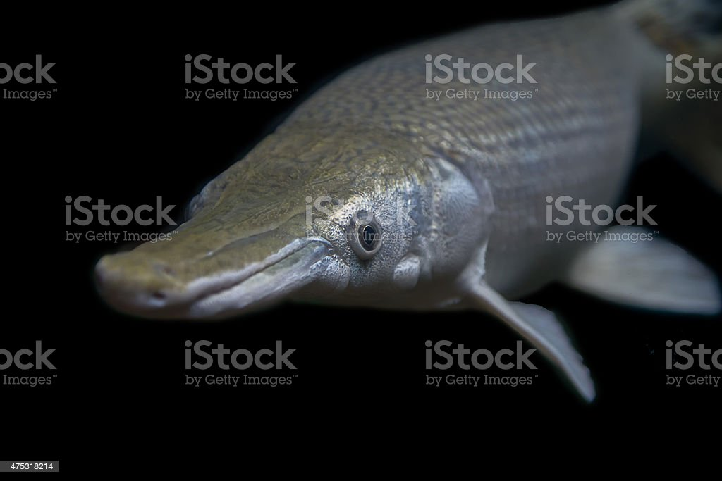 Aligator Gar stock photo