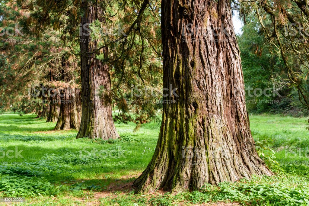 Alignment of giant sequoia trees stock photo