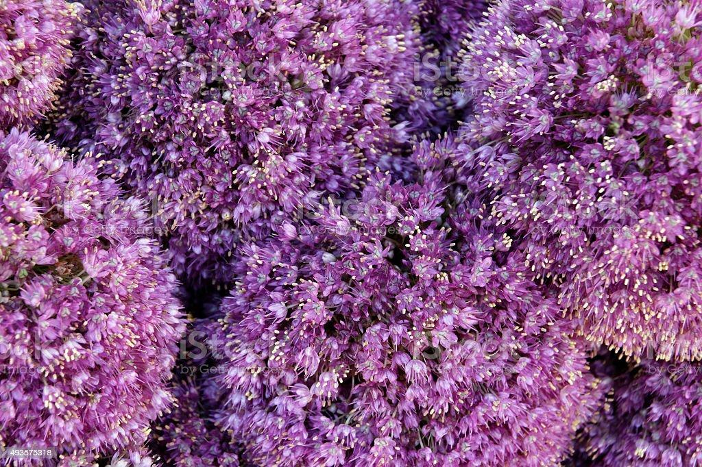 Alium Giganteum Flower Heads stock photo