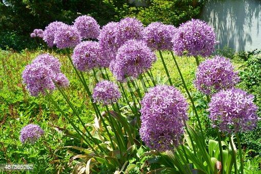 Purple alium in garden.