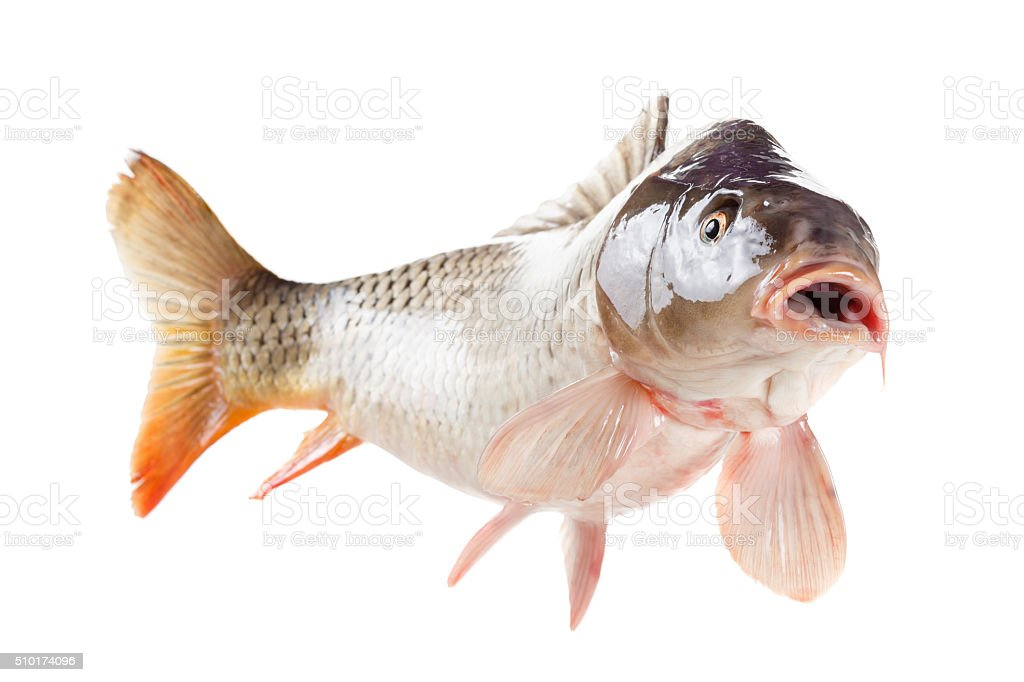 Alive carp fish isolated on white background stock photo