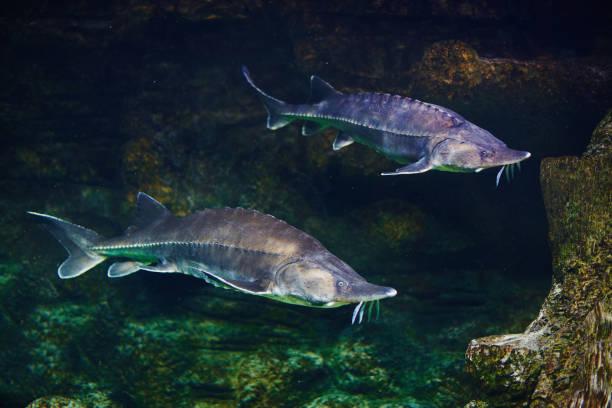 Alive sturgeon in aquarium Alive sturgeon in aquarium yala stock pictures, royalty-free photos & images