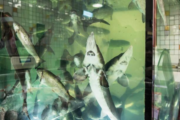 Alive sturgeon in the aquarium stock photo