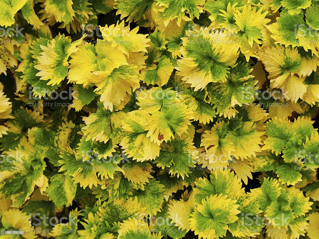 Alkaloid plant texture royalty-free stock photo