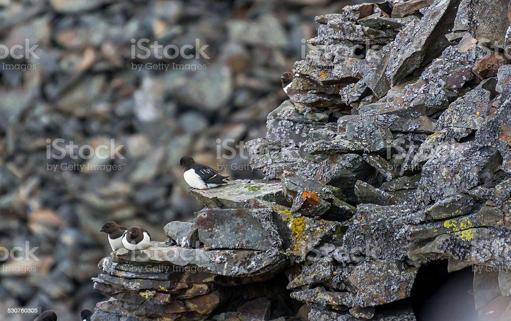 Alkekongen in the Arctic stock photo