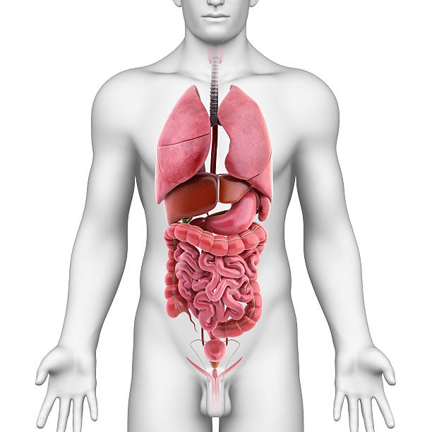 all internal organs of male body - internal organ stock photos and pictures