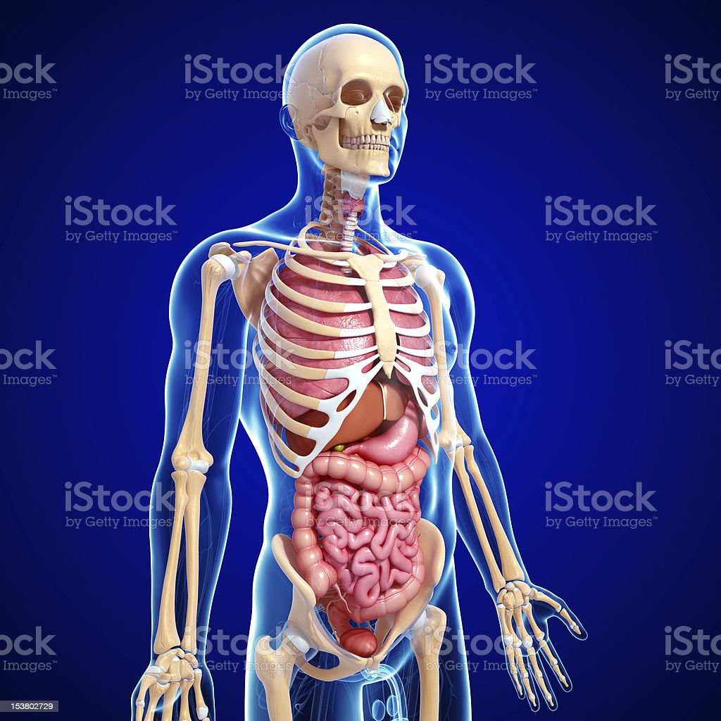 All Internal Parts Of Human Body And Stomach With Lungs Stock Photo