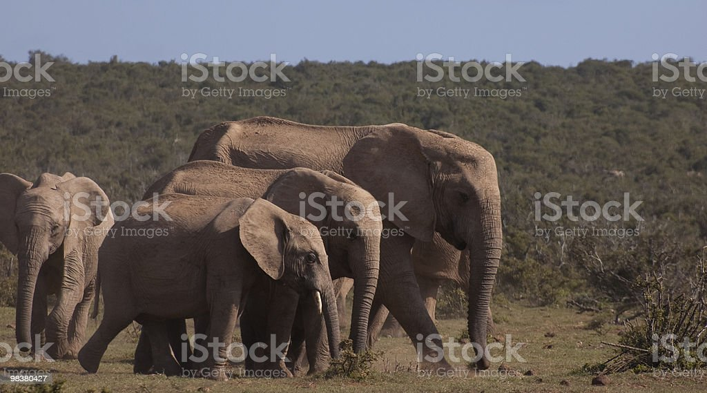 All sizes of elephant royalty-free stock photo