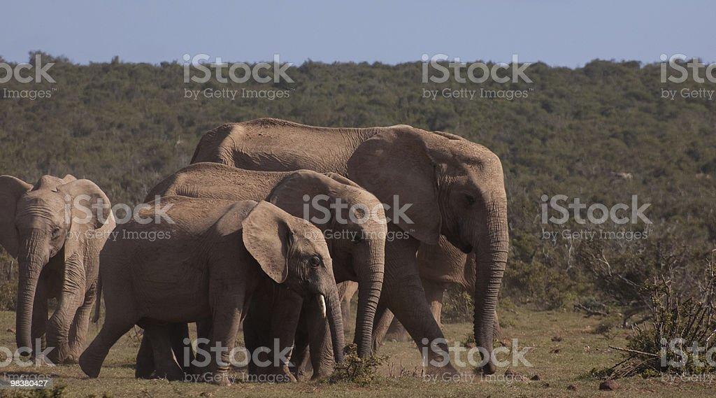 Tutte le dimensioni di elefante foto stock royalty-free