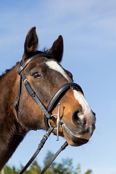 all tacked up ready for action. - horse bit stock photos and pictures