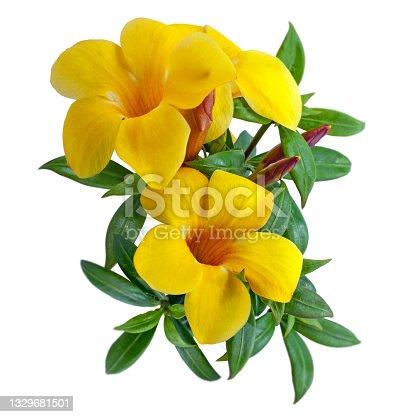 istock Allamanda flower isolated on white background 1329681501