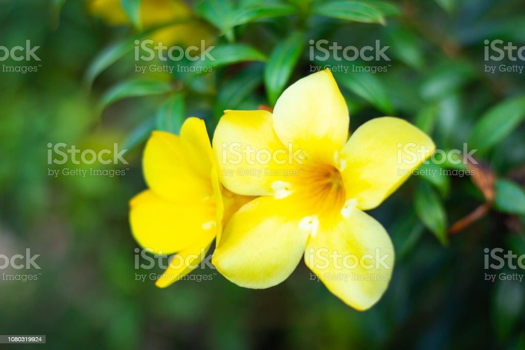 Allamanda, Golden trumpet, Yellow bell (Allamanda cathartica L.) in the garden stock photo