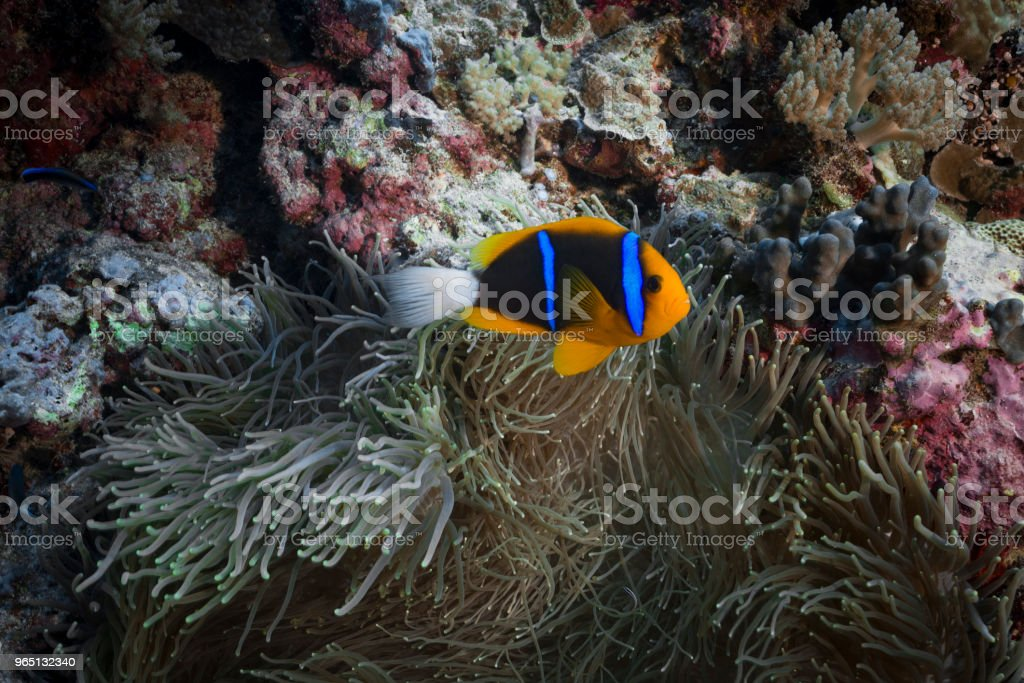 Allard's clownfish and Anemone royalty-free stock photo