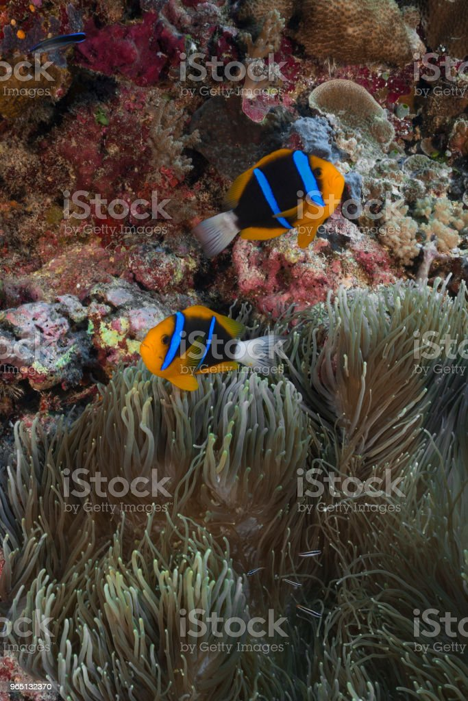 Allard's clownfish and Anemone royalty-free stock photo
