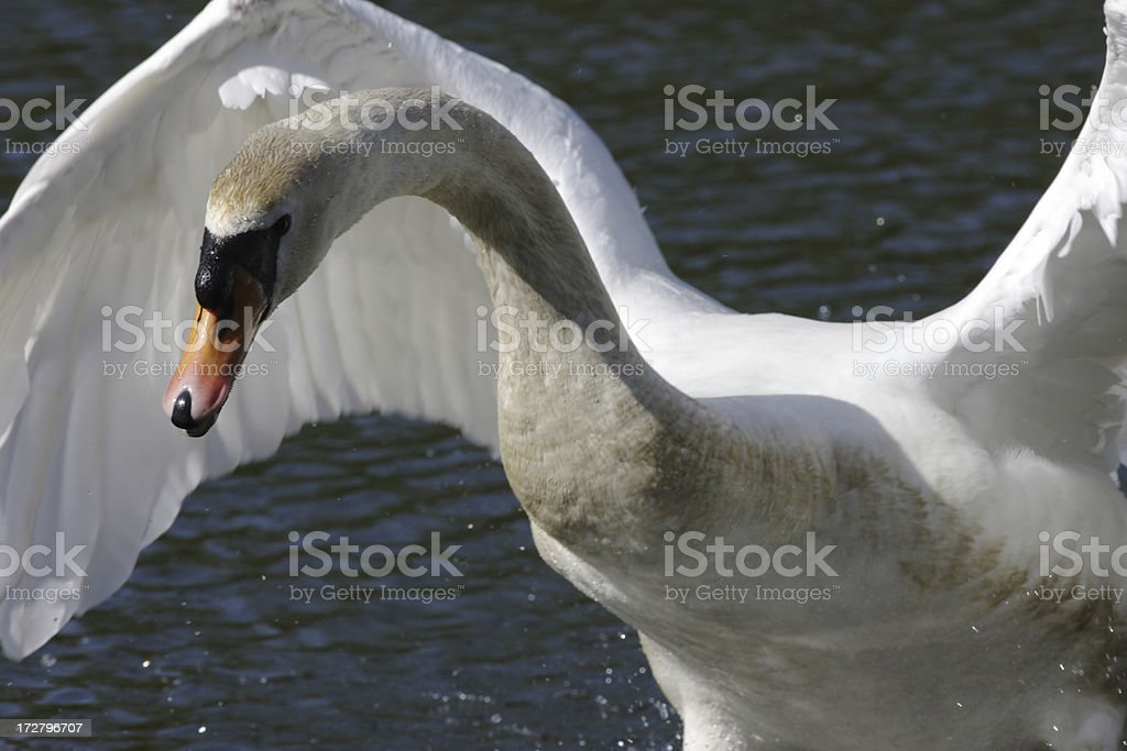 Flying mute swan Cygnus olor in close up stock photo
