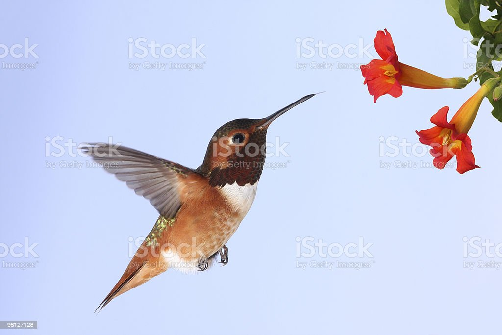 Allen's Hummingbird hovering at flowers royalty-free stock photo