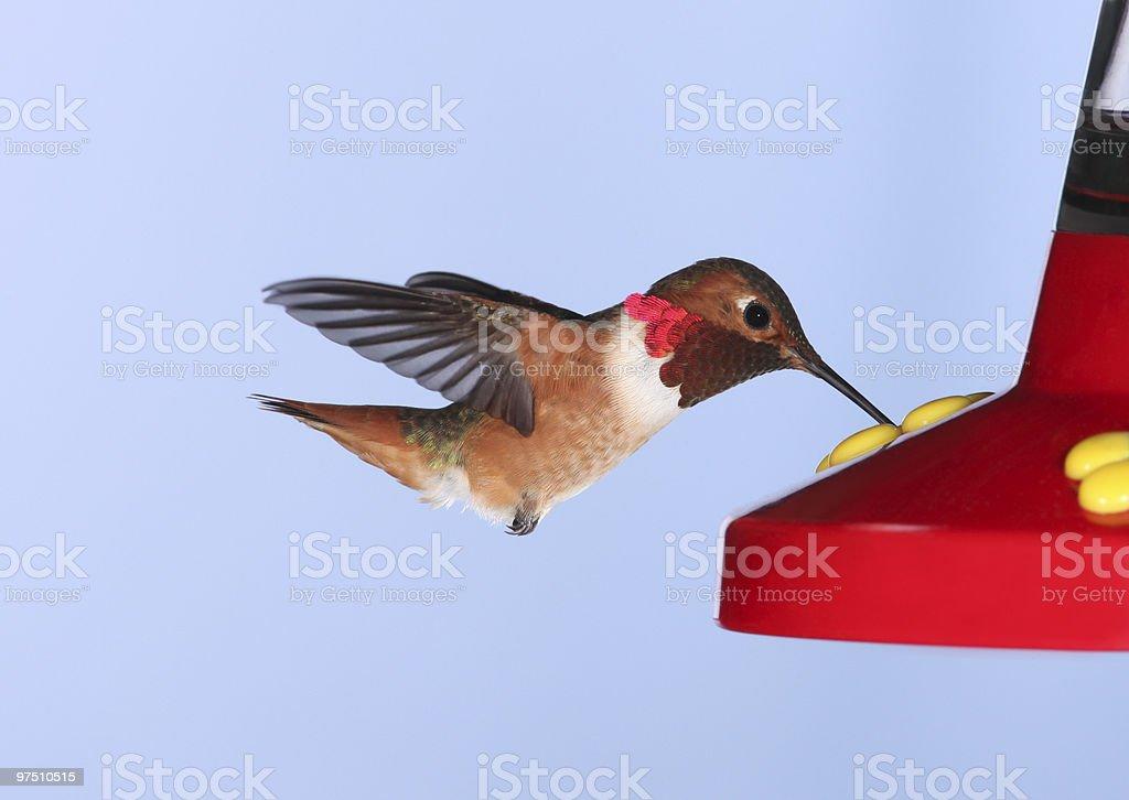 Allen's Hummingbird royalty-free stock photo