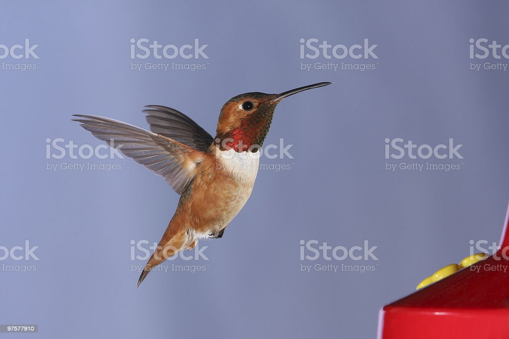 Colibri d'Allen photo libre de droits