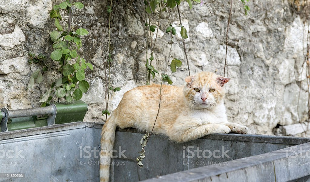 Alley Cat stock photo