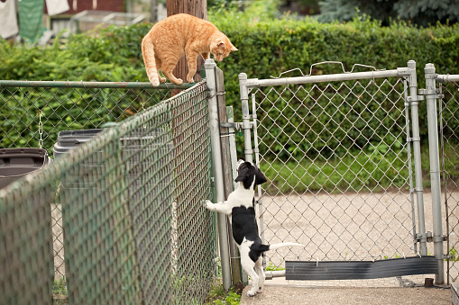 An orange tabby cat standing on a fence looking down at apuppy in the next yard.