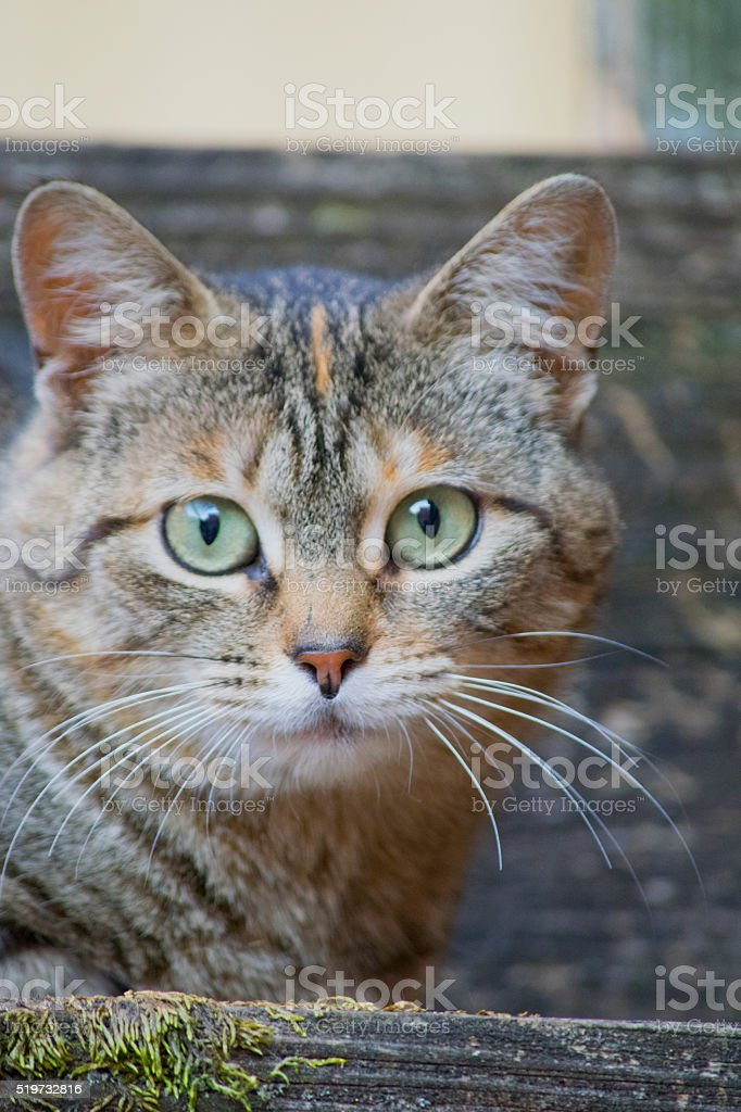 Alley Cat with Green Eyes stock photo
