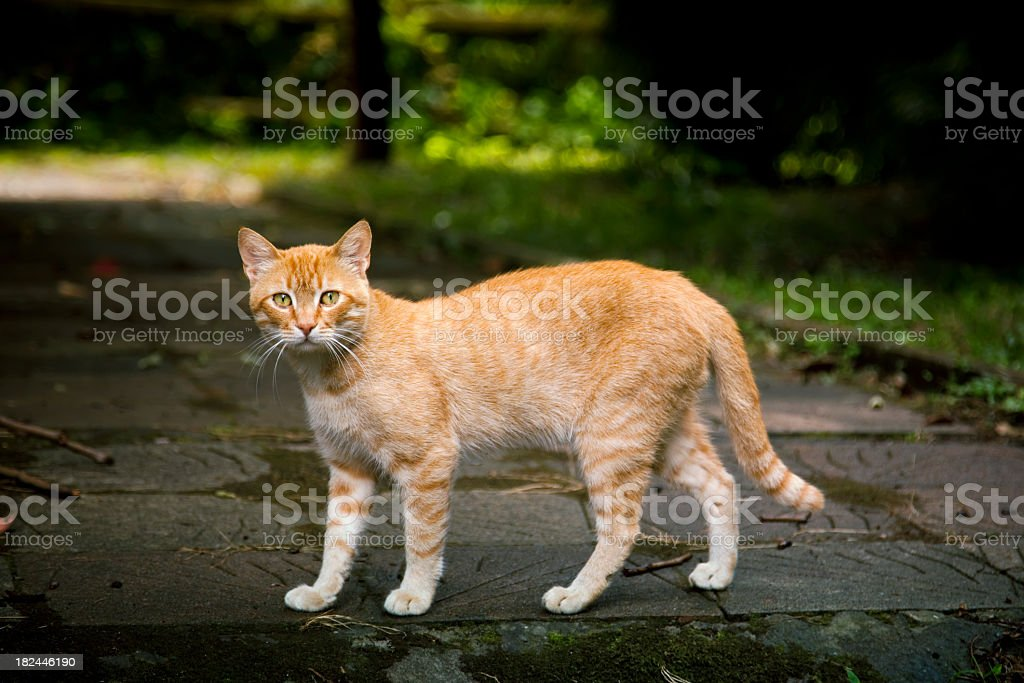 Alley ginger  cat in park royalty-free stock photo