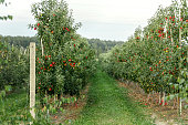 Green alley of apple trees with natural health fruits