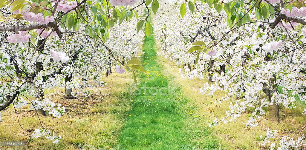 Alley of dandelions in the apple orchard stock photo