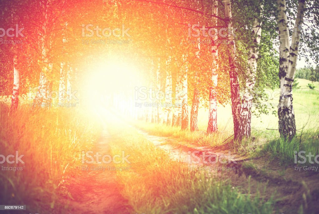 Alley of green birches and sun shining directly at camera stock photo