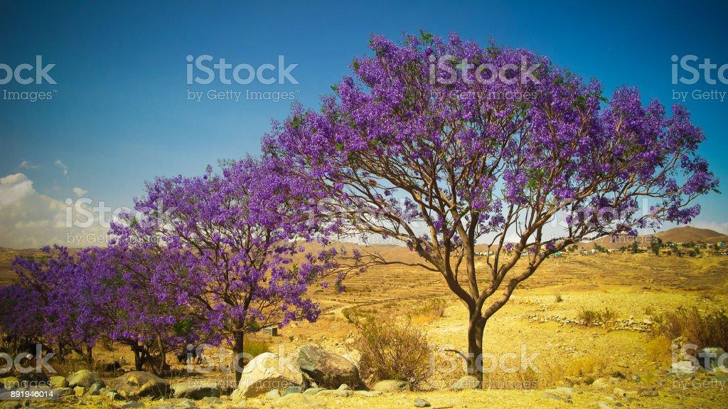 alley of Jacaranda trees at Filfil national park, Eritrea stock photo