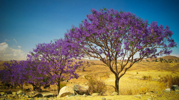 alley of jacaranda trees at filfil national park, eritrea - eritrea stock photos and pictures