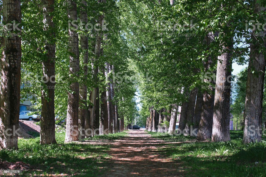 Alley of poplars with blossoming leaves in the middle of spring stock photo