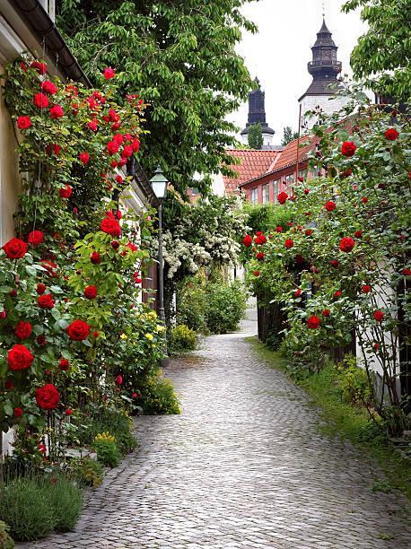 Alley of Roses bildbanksfoto